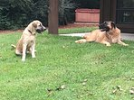 Gus and Sadie out by the hot tub....