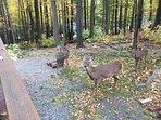 Deer almost everyday, side deck