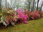 As springtime comes to the mountains, the azaleas burst into bloom at Mountain Vista Retreat!