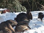 Yes, we have had up to 30 wild turkeys visit at a clip at Treetop-Retreat!