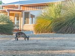 Local kangaroos at your doorstep