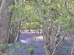 Bluebell walk in the forest