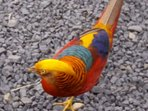Golden Pheasant where you will park at the front