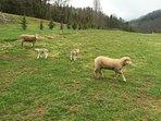 Sheep pasture right next door