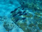 Blue Tangs are schooling all over in the waters.