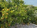 Garden fruits in season