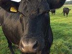 Meet the cattle