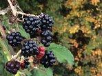 Blackberry picking in September