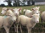 Cute lambs.