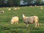 Walk through our flock of sheep