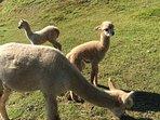 Visites des Alpagas
