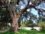 City Park and its beautiful live oak trees which are over 300 years old.