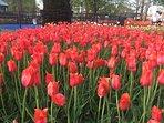 The beautiful tulips in Centennial Park