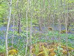 Bluebells on the walk to Elterwater