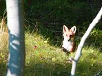 This fox is taking a well-deserved break after raising all of its Kits.