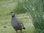Red legged Partridge strutting about