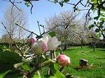 Les pommiers en fleurs, 'aux Camélias'