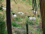 Meet our black faced suffolk sheep.