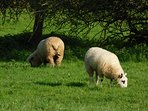 Sheep in the Medow