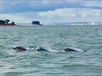 Dolphins off of Bembridge Beach