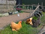 We have free range chickens and, occasionally, eggs available!