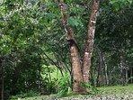 Pizote en árbol del jardín