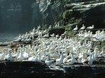 Gannets on cliffs at Noss