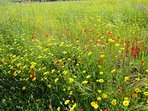 wild flowers in the local fields