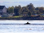 Cottage of Aird - Dolphins in the nearby Moray Firth