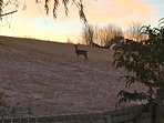 Roe Deer in the field next to Cottage of Aird