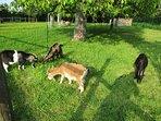 Les chèvres naines, dans la prairie