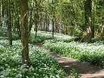 Wild garlic woods behind Stackpole Walled Garden in early May
