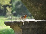 Friendly robin in the grounds of Stackpole Estate