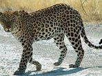 Our friendly neighborhood Leopard!