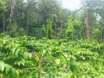 The Coffee plantation interceptors with Pepper Vines