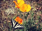 Butterflies and poppies at Boards Crossing.
