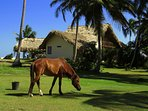 No need for a gas lawn mower at Villa Punta Coral... The horse takes care of it for us!