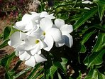Enjoy the fragrance of the Gardenia at the villa