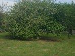 Les abricotiers du jardin