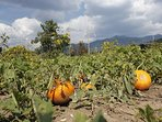 We are a working farm. Our main crop is gojis but we also grow pumpkins and other vegetables.