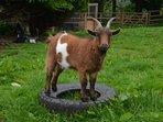 Enjoy the playful pigmy goats