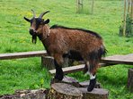 Lots of animals on site including pigmy goats