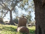Olive picking starts late November at The Dopia.
