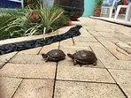 Elusive resident  turtles