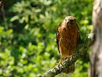 Beautiful Red-Shouldered Hawk looking for prey
