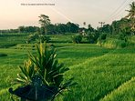 Rice fields in front of the house