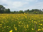Buttercup meadow near Cartmel