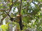 Spider monkey through our private tours you can to see it!