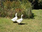 Geese at Pollingarrow Farm