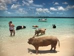 See the swimming pigs on a Cays trip